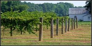 Adams-Vineyard-NC
