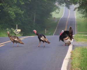 Turkey promenade near Silk Hope, NC.